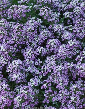 Аллисум приморский Easter Bonnet Lavender