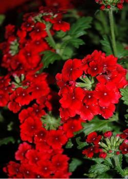 Вербена Empress Flair Red