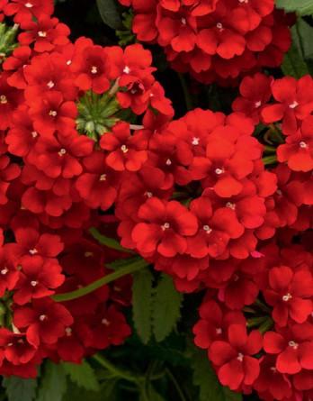 Вербена Estrella Voodoo Red