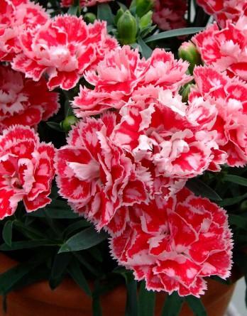 Гвоздика садовая Devine Pink Bicolor