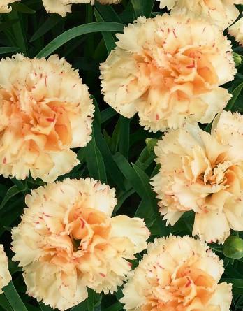 Гвоздика садовая Garofani Sunflor Bling Bling
