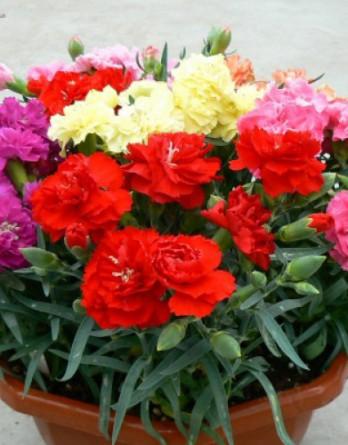 Гвоздика садовая Lillipot Mix