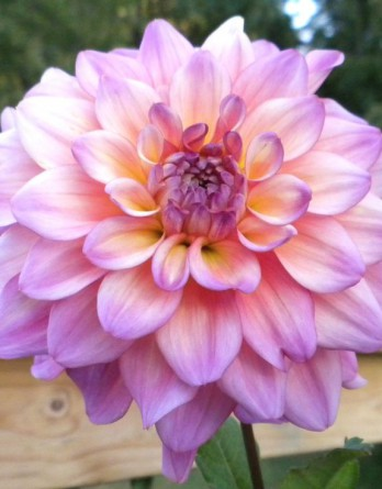 Георгина гибридная Dalinova Temptation Pink Bicolor1