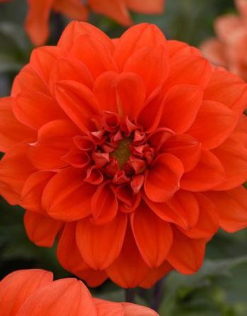 Георгина изменчивая Figaro Orange Shades