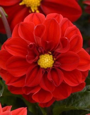 Георгина изменчивая Figaro Red Shades
