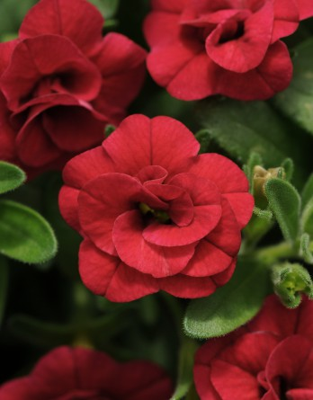 MiniFamous Double Compact Red Calibrachoa Color Code: 200c Selecta 2014, #CAL-6574 Bloom, Vegetative 06.05.12 Arroyo Grande, Mark Widhalm CAL-6574_02.JPG CAL12-14067.JPG  Formerly MiniFamous Double Red Calibrachoa