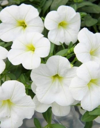 Калибрахоа Aloha Kona White