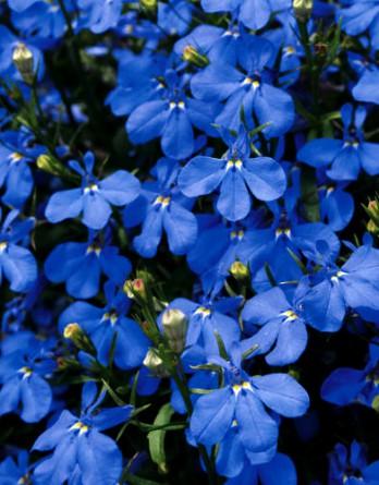 Лобелия эринус Early Sky Blue