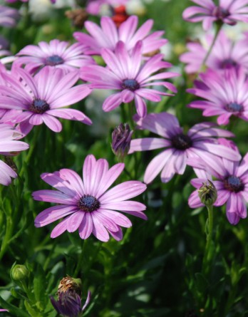 Остеоспермум Margarita Lilac