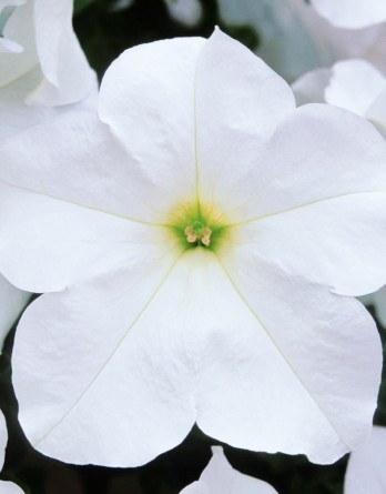 Петуния Fanfare White