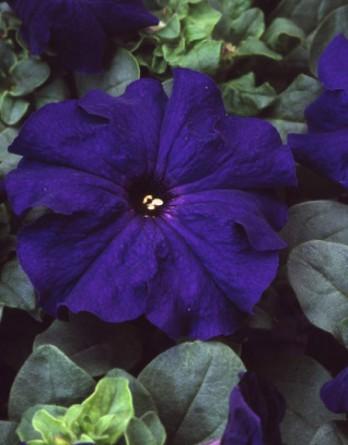 Петуния Lupo Blue