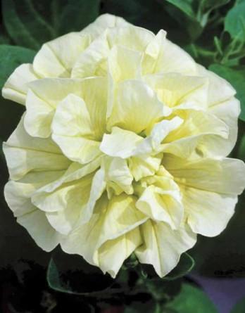 Петуния Tumbelina Susanne Yellow