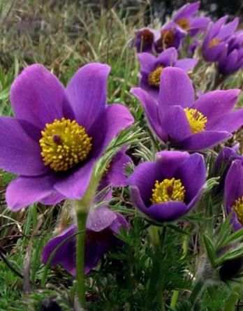 Прострел Pinwheel Blue Violet