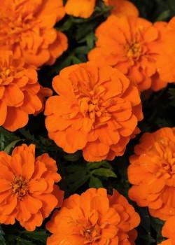 Tagetes patula Bonanza Orange