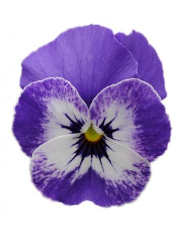 Viola Cornet Delft Blue