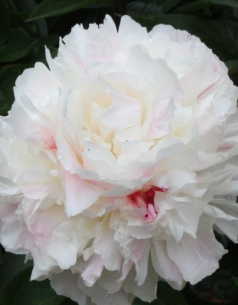 Paeonia Shirley Temple IMG_5605