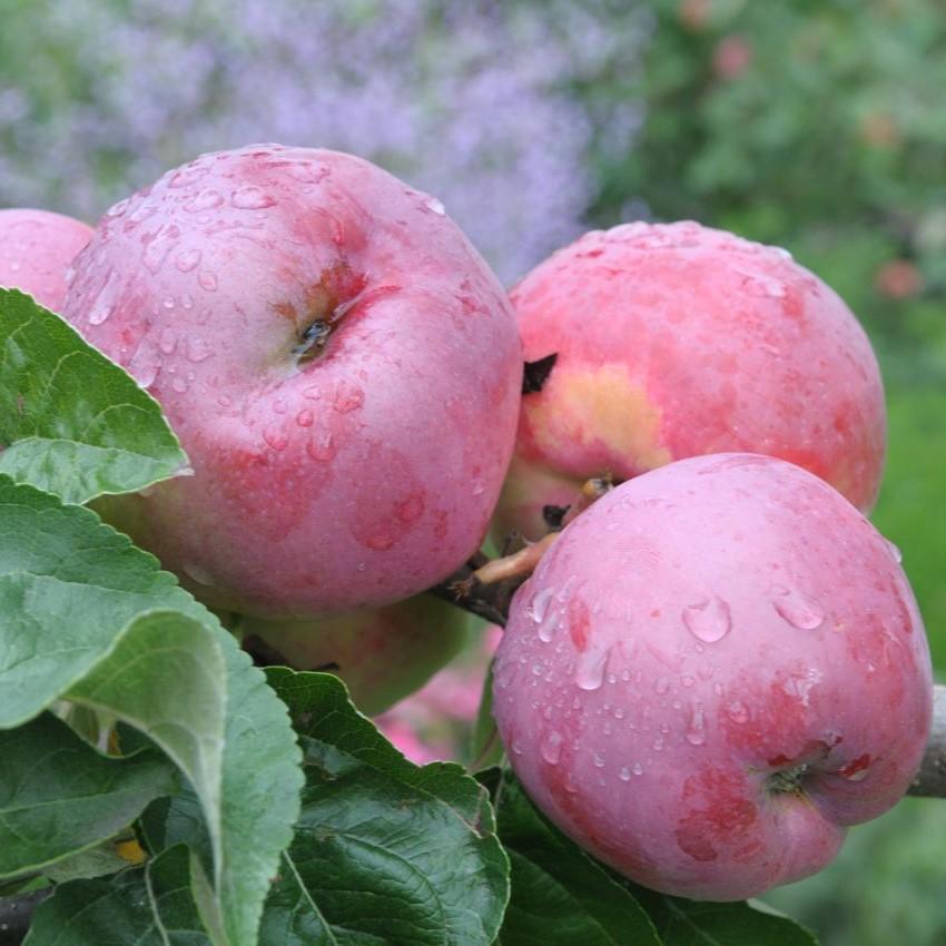 Сорта яблок подарок графскому 75