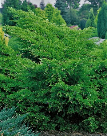 Juniperus media Mint Julep