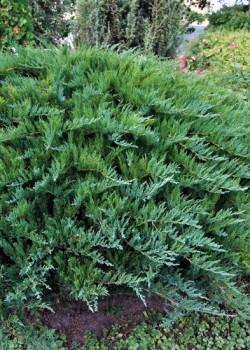 Juniperus sabina Tamariscifolia