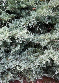 Juniperus virginiana Grey Owl