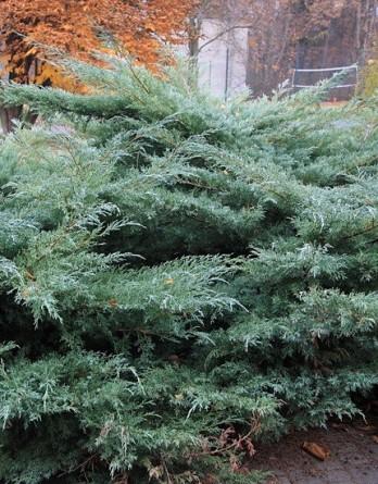 Juniperus virginiana Hetz