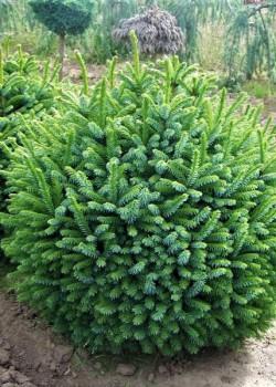Picea omorika Nana