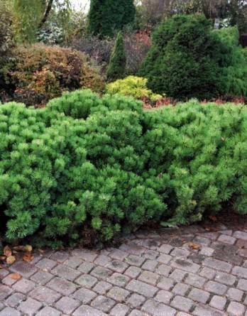Pinus mugo var pumilio