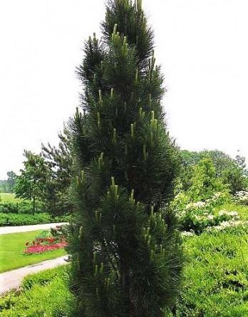 Pinus nigraPiramidalis