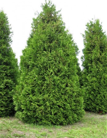 Thuja occidentalis Brabant
