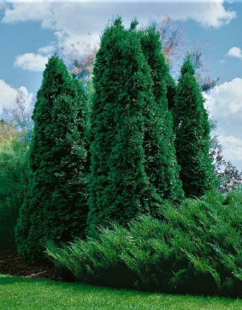 Thuja occidentalis Columna