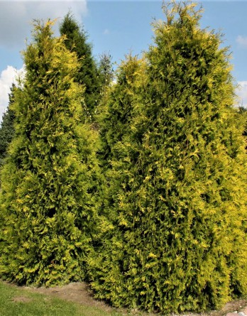 Thuja occidentalis Sunkist