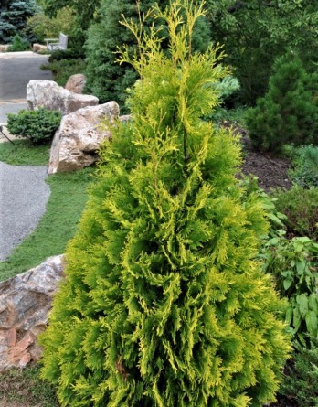 Thuja occidentalis Yellow Ribbon