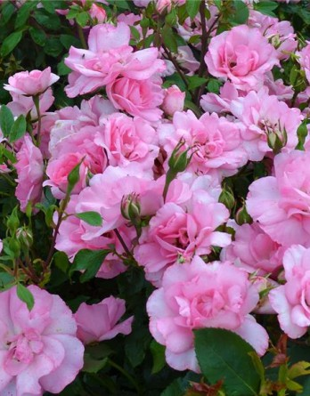 Бордюр роз