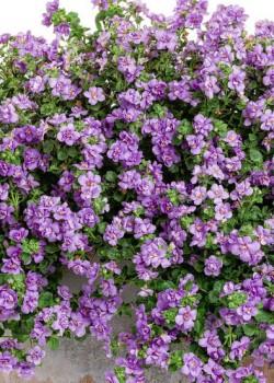 Бакопа Double Lavender