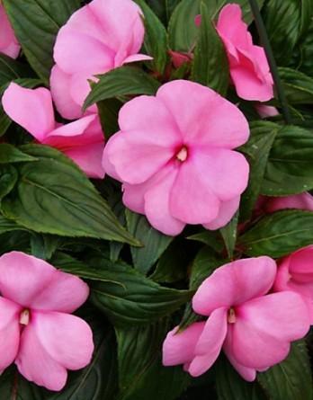 Бальзамин новогвинейский Magnum Clear Pink