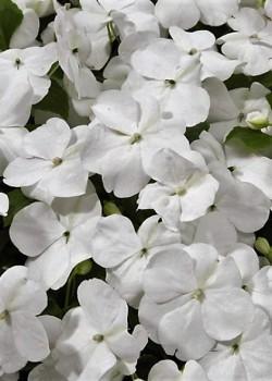 Бальзамин новогвинейский Magnum Clear White