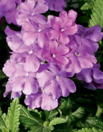 Вербена Obsession Lilac