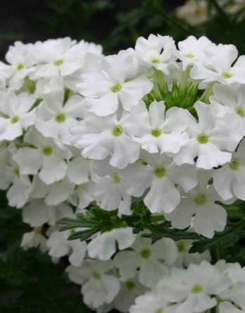 Вербена Obsession White