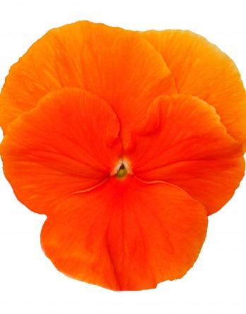 Виола Cornet Deep Orange