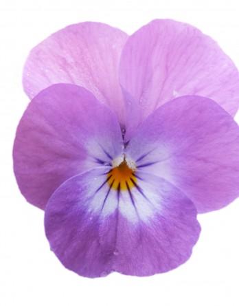 Виола Cornet Lavender Pink