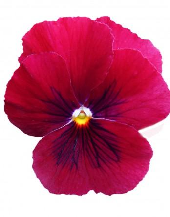 Виола Cornet Rose-Carmin Eye