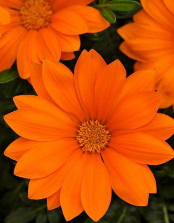 Газания жестковатая New Day Clear Orange