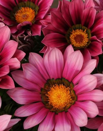 Газания жестковатая New Day Pink Shades
