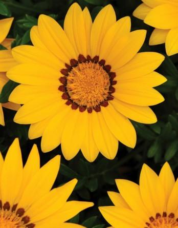 Газания жестковатая New Day Yellow