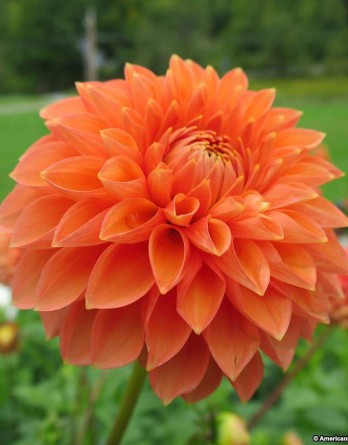 Георгина гибридная Dalinova Temptation Orange1