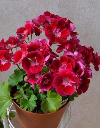 Пеларгония зональная Flowers Fairy Velvet1