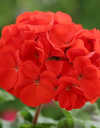 Пеларгония зональная Horizon Scarlet