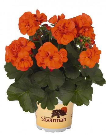 Пеларгония зональная Savannah Oh so Orange