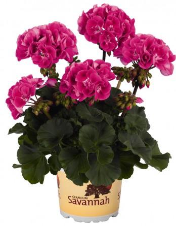 Пеларгония зональная Savannah Pink Sizzle