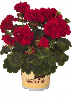 Пеларгония зональная Savannah Really Red